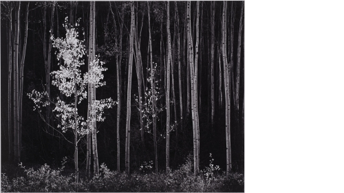 Ansel Adams, Aspens, Northern New Mexico, 1958, negative date: 1958; print date: between 1963 and 1973, gelatin silver print. Purchased in memory of Edward A. Hansen, Member of the Board of the Hopkins Center and Hood Museum of Art, with gifts from his wi