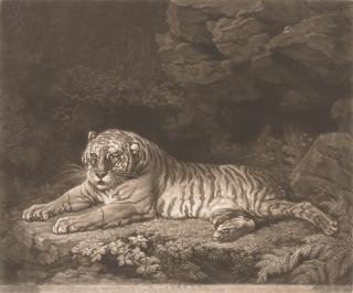 John Dixon after George Stubbs, A Tigress